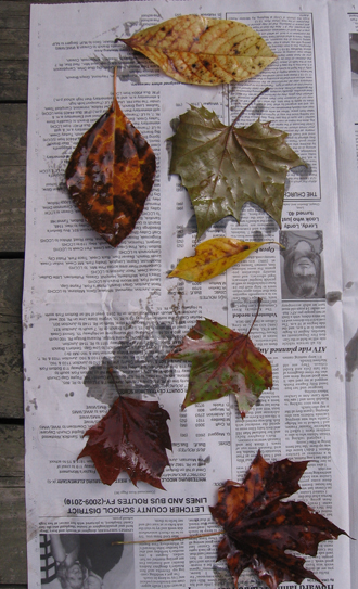 This is the second set of leaves we oiled.