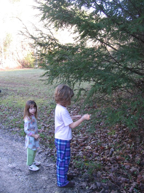 Checking out Eastern Hemlock twigs.